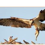 Observer un nid de balbuzards